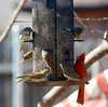 Northern Cardinal (dkfotog) Tags: birdwatching feeder cardinal red sparrow backyard