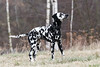 Fleckenclown (blumenbiene) Tags: hund dog hunde dogs hündin female dalmatiner dalmatian schwarz weis black white winter fun spas spielen play
