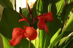 rosarote Canna blüht im Haus (Sophia-Fatima) Tags: mygarden meingarten naturgarten gardening canna