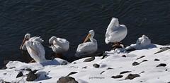 Pelican Party_9407 (Porch Dog) Tags: 2018 garywhittington kentucky nikond750 nikkor200500mm january winter outandabout bird avian wildlife nature