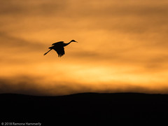 Into the Setting Sun (Ramona H) Tags: nm newmexoco flight sandhillcranebosquedelapache sunset