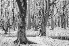 Winterwald (Petra Runge) Tags: wald bäume buchen winter schnee natur baum nienhagen tree woodland snow nature landscape outdoor landschaft