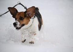 Lucky (LuckyMeyer) Tags: beagle dog snow forest white black brown jagdhund leash canine