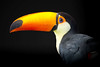 Toco Toucan (Just BS) Tags: bird feathers aves avian zoo zoosofthesouth zoosofnorthamerica aza florida animal nature wildlife portrait blackbackground photoshop closeup toucan tocotoucan