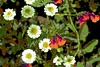 Delicate Daisies! (maginoz1) Tags: flowers foliage abstract art manipulate curves summer january 2018 bulla melbourne victoria australia pink white daisy geranium bugs canon g3x