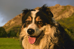I Laddie (Mike & Indy) Tags: laddie dog dogs bordercollie portrait llanfairfechan northwales pet