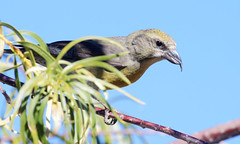 Red Crossbill -- Female (Loxia curvirostra); Catalina Regional Park, Arizona [Lou Feltz] (deserttoad) Tags: nature arizona red mountain animal bird fauna wildbird songbird crossbill