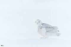''Camfouflage!'' harfang des neiges-snowy owl (pascaleforest) Tags: oiseau bird animal owl hibou hiver winter vent lueur wild wildlife passion nikon québec canada neige snow snowyowl minimaliste
