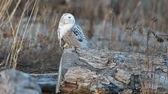 DSC_9866_edit (Hanzy2012) Tags: toronto ontario canada lesliestreetspit tommythompsonpark d500 afsnikkor500mmf4difedii bird wildlife snowyowl buboscandiacus