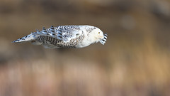 DSC_9560_edit (Hanzy2012) Tags: toronto ontario canada lesliestreetspit tommythompsonpark d500 afsnikkor500mmf4difedii bird wildlife snowyowl buboscandiacus