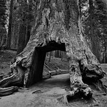 The Famous Large Opening at Base of Giant Sequoia (Black & White, Yosemite National Park) thumbnail