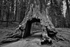 The Famous Large Opening at Base of Giant Sequoia (Black & White, Yosemite National Park) (thor_mark ) Tags: nikond800e lookingsouth day6 triptopasoroblesandyosemite yosemitenationalpark capturenx2edited colorefexpro blackwhite silverefexpro2 tuolumnegrovetrail tuolumnegroveofgiantsequoias giantsequoias outside trees hillsideoftrees overcastwithclouds evergreens landscape nature talltrees talltreesallaround sequoiadendrongiganteum largeopeningatbaseofgiantsequoia naturetrail tuolumnegrove project365 california unitedstates