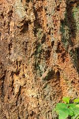 171011_110221_AB_1619 (aud.watson) Tags: canada westvancouver seatoskyhwy route99 pointatkinson horseshoebay burrardinlet lighthousepark beaconlane pointatkinsonlighthouse built1871 westernhemlock tsugaheterophylla douglasfir pseudotsugamenziesii westernredcedar thujaplicata britishcolumbia temperaterainforest coast coastline forest wood tree trees gymnosperms conifer conifers pine pines spruce bark oldgrowthforest trunk ca