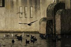 Vuelos de hormigón (Franco D´Albao) Tags: francodalbao dalbao fujifilmfinepixhs50exr gaviotas seagulls fuente fountain water aves birds animal ave bird