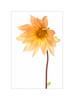Dahlia (The Visioneer) Tags: dahlia orange nautre highkey organic closeup