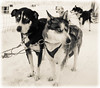The Lost Boys (h373n) Tags: kakslauttanen finland huskies husky lapland snow