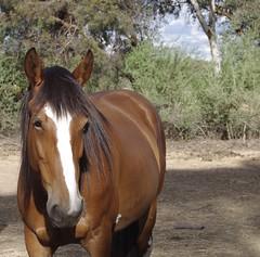 Gypsy (iainken) Tags: horse white blaze black mane chestnut equine