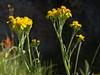 gauge plant, Senecio integerrimus var. exaltatus (Jim Morefield) Tags: bishop california unitedstates asteraceae sunflowerfamily senecio seneciointegerrimus seneciointegerrimusvarexaltatus angiosperm dicot plant flowers flower blossom bloom wfgna flora wildflower wildflowers cnpsok gaugeplant subalpine meadow wetland seep eswild northamerica monocounty whitemountains cottonwoodbasin greatbasin whitemountainswilderness inyonationalforest cottonwoodcreeknationalwildandscenicriver wilderness july summer olympus evolt e510 olympuse510 jdm20162126 taxonomy:family=asteraceae taxonomy:genus=senecio taxonomy:binomial=seneciointegerrimus taxonomy:common=gaugeplant taxonomy:trinomial=seneciointegerrimusexaltatus geo:alt=3051m yellow orange 5petals manypetals roundcluster