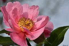 Thursday`s Flower (Eleanor (No multiple invites please)) Tags: camellia pinkflower goldershillpark goldersgreen london nikond7100 february2018 coth5