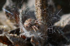 Really tiny Orb-Weaver spider in its nest (Treebeard) Tags: tiny spider nest orbweaver araneidae blacksage salviamellifera lamiaceae sanmarcospass santabarbaracounty california