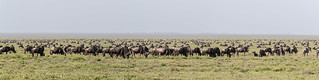 A small section of the Great  Wildebeest Migration