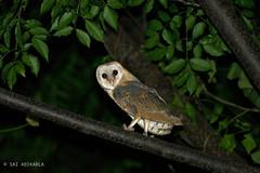 Barn Owl (Sai Adikarla) Tags: bangalore bird nikon owl wildlife barnowl wildlifephotography naturallife nature animals night