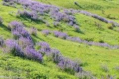 Of Lavender and Green (Ralph Earlandson) Tags: redwoods lupine california redwoodsnationalpark wildflower