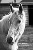 Aart Hoeven Paardenhoofd 11 februari 2018 - Watermerk (aart13) Tags: aart hoeven dutchimagehunter dutch image hunter netherlands veluwe holland sony rx10 m3 horse black white blackwhite bandw bw animal animals