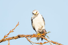 White-tailed Kite was eating Sora (X81_5519-1) (Eric SF) Tags: raptor whitetailedkite coyotehillsregionalpark fremont california sora