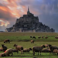 Normandy Lambs (Ludovic Lagadec) Tags: montsaintmichel lambs animals sunset carré