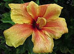 Breakfast Stripes! ('cosmicgirl1960' NEW CANON CAMERA) Tags: hibiscus flowers worldflowers tropical exotic raindrops waterdrops green orange red yellow parks gardens nature marbella spain espana andalusia costadelsol travel holidays yabbadabbadoo