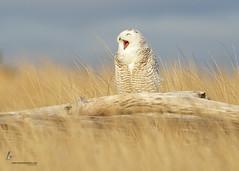 sovoblog.ru-33376015875352560-2013-12-12 (Ariara_G) Tags: 1dmkiv 500mmf4l buboscandiacus damonpoint joshuaclark momentsinnature oceanshores owl raptor snowy snowyowl washington