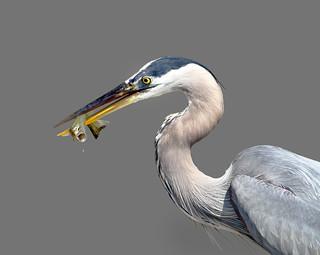 In Explore...  Great blue heron, Ardea herodias with fish