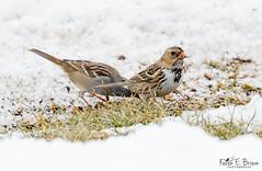 Lifer Harris's Sparrow (BirdFancier01) Tags: