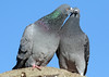 pidgeon artis BB2A7790 (j.a.kok) Tags: vogel bird artis dove duif pidgeon