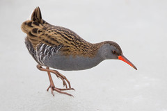 Water Rail (Simon Stobart) Tags: red water rail rallus aquaticus ice frozen pond northeast england naturethroughthelens coth5 ngc npc