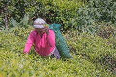 850_2499 (stephho2015) Tags: tea ceylon teaplantation srilanka