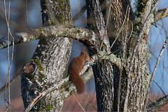 Écureuil_3155 (lucbarre) Tags: ecureuil écureuil arbre arbres tree trees rongeur rongeurs jardin gardin