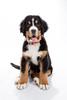 Kobi ([inFocus]) Tags: kobi bernesemountaindog dog pet animal canon 5dmkiv 2470mmf28lii studio puppy cute strobist paw paws