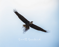 Lazy M Ranch.20180302.134 (Scott Sanford Photography) Tags: 80d baldeagle canon ef100400mmf4556lii eos easttexas naturalbeauty naturallight nature nest outdoor raptor texas wildlife animals beautiful birds spring