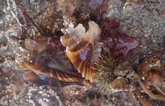 Three-winged murex (Jeff Goddard 32) Tags: malibu latigo lowrockyintertidal lowtide california macro shell gastropoda pteropurpuratrialata