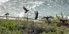 20180117_Vultures_0001 (jnspet) Tags: vulture turkeyvulture bird birds wing wings water fence avian buzzard buzzards outdoor spreadwide stretch feathers wingsoutstretched wingsspread backlight cathartesaura perch perched sunning post wood