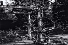 Wisteria in winter_ RSPB Bedfordshire (jacbfotografie.co.uk) Tags: wisteria blackandwhite nature plants garden gardening winter bark tree pergola jacquelinebphotografiecouk