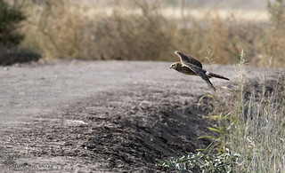 _45A3924 Northern Harrier ©Dancing Snake Nature Photography