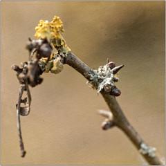 L'automne en hiver (Jean-Marie Lison) Tags: eos80d bruxelles molenbeek scheutbos lichen bourgeon épines macro