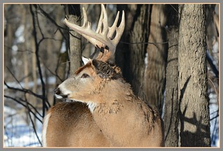 *** Winter Whitetail Perspective ***