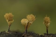 Myxomycetes Trichiaceae (Hemitrichia sp. ?), sporocarpes à maturité. Vallon du ruisseau de Pène, massif du Signal de Bassia, Baronnies. (G. Pottier) Tags: myxomycetes myxogastromycetidae trichiales trichiaceae myxomycète slimemold blob amoebozoa afnikkor28mmf28d kenkoautomaticextensiontubesetdg reverselens