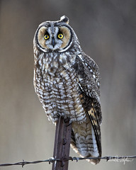 Our Hero Poses For Masses (dcstep) Tags: dsc3576dxo cherrycreekstatepark post metalfencepost fencepost wire wirefence bokeh owl longearedowl perched sonya7riii canonef500mmf4lisii ef14xtciii allrightsreserved copyright2018davidcstephens dxophotolab