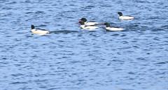 Common Mergansers/ Ketring Park (eddyandtroymike@yahoo.com) Tags: colorado ducks diving