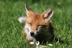 Wish it was summer... (Sue Elderberry) Tags: fox urbanfox sunshine daisies grass vulpus canine pet garden wildlife